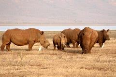 Pongola noshörning Arkivbilder