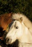 Poni e metà di un cavallo Immagine Stock