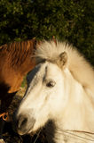 Poni and half of a horse. Pony and his brown horse friend at the back Stock Image