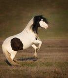 Poni Shetland в поле осени Стоковое Фото