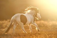 Poni Shetland, который побежали на заходе солнца Стоковые Изображения