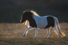 Poni Shetland, который побежали на заходе солнца Стоковое фото RF