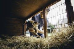 Poniendo el conejo detrás Fotos de archivo libres de regalías