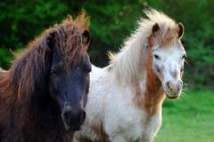 ponies Fotografie Stock Libere da Diritti