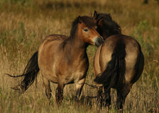 Ponies. Photograph of exmoor ponies in a Shropshire field Stock Photo