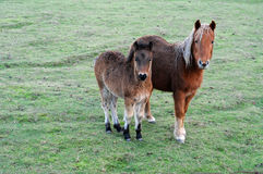 Ponies. A pair of cute brown ponies on a green grass field Stock Photo