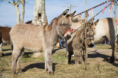 Ponies. Are waiting for buyers at the fair in horses of Vic-Fezensac, France (Gascony stock photo