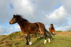 Ponies. The brown lead pony stands looking into the distance on green rough grass with the herd in the background. A blue sky with cloud in the distance Stock Images