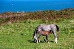 Ponies Stock Photo