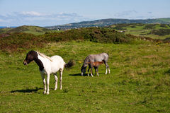 Ponies Stock Images