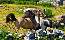 Ponies. Two ponies in Ireland in a field Stock Images