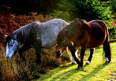 Ponies. Horses from the New Forest, England, UK stock photography