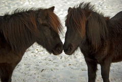 Ponies. Two ponies showing tenderness with snowy winter background Stock Image