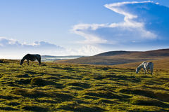 Ponies on Bodmin Moor. Bodmin Moor is famous for it ponies that live wild up on the Moor in Cornwall Stock Images