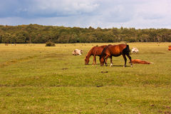 Ponies at Brockenhurst. New Forest ponies grazing in the countryside at Brockenhurst Stock Photography