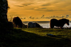 Ponies at dawn. A group of ponies on the cliff top grazing, this was taken early morning at sunrise on Rinsey cliffs in cornwall england, the ponies are to Royalty Free Stock Photo