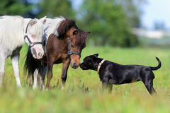 Ponies and a dog in field Royalty Free Stock Photography