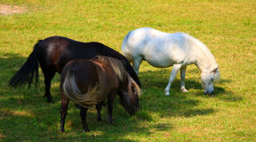 Ponies eating grass. 3 ponies eating grass in sunny field Stock Photography