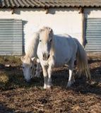 Ponies on the farm. White ponies on the farm stock photos