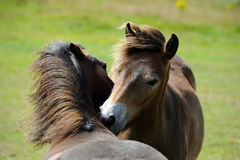 Ponies  in field Royalty Free Stock Images