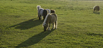 Shetland Ponies. On a field eating grass Stock Image