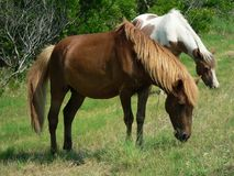 Ponies grazing Royalty Free Stock Images