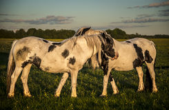 Ponies grazing and playing on Port Meadow Stock Photos
