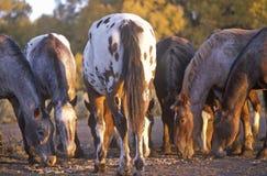 Ponies grazing, Taos, MN Stock Photo