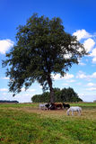 Ponies Grazing under Tree in Rural Farmland Field Stock Photography