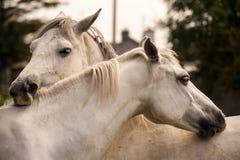 Ponies grooming Stock Image