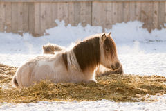 Ponies having rest on a snow Royalty Free Stock Photos