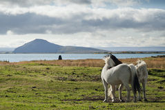 Ponies in iceland landscape. Icelandic ponies in interior iceland landscape Royalty Free Stock Photography