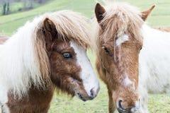 Ponies Stock Photography