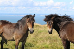 Ponies on grassland looking at camera on the English coast Royalty Free Stock Photo