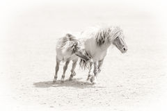 Ponies In Love Royalty Free Stock Photography