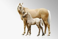 Ponies mare and foal. Isolated on grey stock images