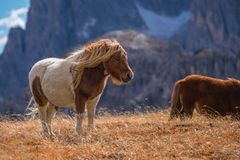Ponies on meadow in italien dolomites in south tyrol, beautiful scenery in italien alps.  stock photography