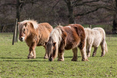 Ponies on the meadow Royalty Free Stock Images