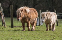 Ponies on the meadow Royalty Free Stock Photo