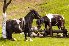 Ponies. In Moieciu de sus, Brasov, Romania Royalty Free Stock Photography