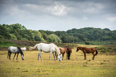 Ponies in New Forest National Park. Brown and white ponies grazing in New Forest National Park. In the background you can see the trees of the forest Royalty Free Stock Image