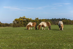 Ponies in the New Forest Stock Image