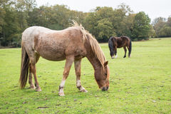 Ponies in The New Forest Stock Photography