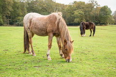 Ponies in The New Forest Stock Photo