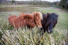 Ponies in Padock Stock Photo