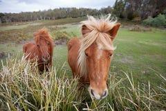 Ponies in Padock Stock Photos