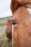 Ponies in Padock Royalty Free Stock Images