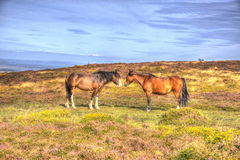 Ponies on Quantock Hills Somerset England with purple heather Royalty Free Stock Images