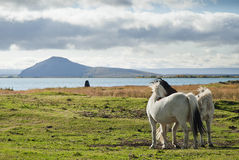 Ponies in rural iceland landscape Royalty Free Stock Image