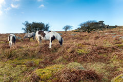 Ponies on Sharp Tor Royalty Free Stock Photo